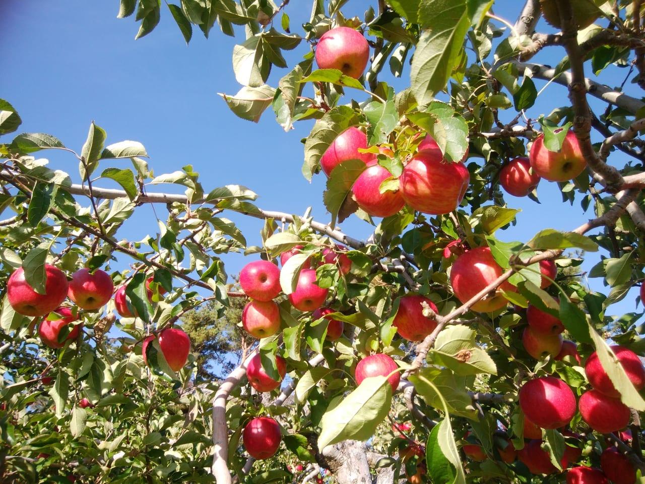 秋の味覚、りんごの木