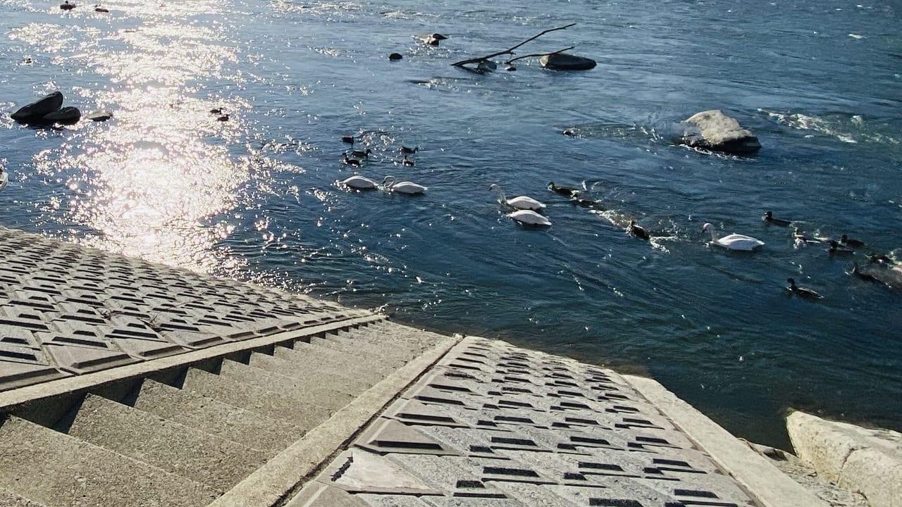 千曲川の白鳥